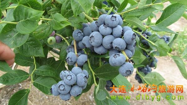 蓝莓采摘让庄河火起来